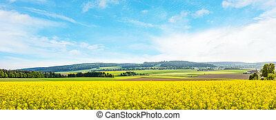 yellow canola field panorama