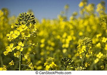 Yellow canola field. Spring photo.