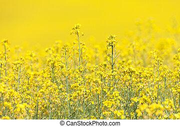 Yellow Canola Flower