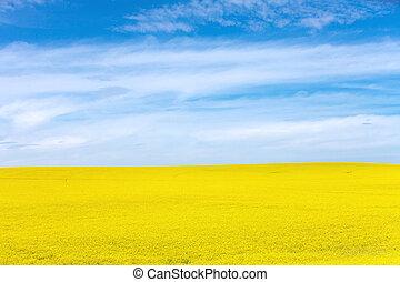 Yellow Canola Flower and blue sky in Palouse Washington...