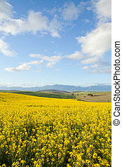 Yellow canola flowers with snow capped mountain range in background