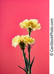 yellow carnations on pink background