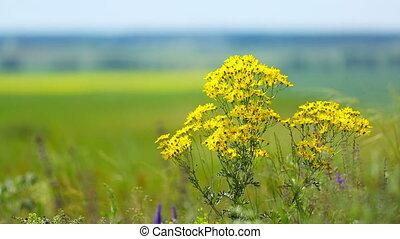 Yellow chamomile (Anthemis tinctoria), shallow DOF