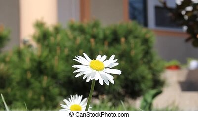 Yellow chamomile flower moving in the wind