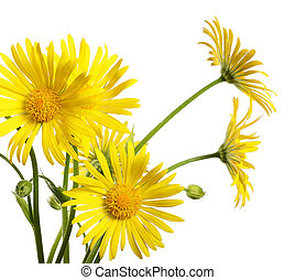 Yellow chamomile isolated on white background