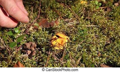 yellow chanterelles