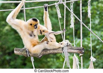 Yellow-cheeked gibbon baby