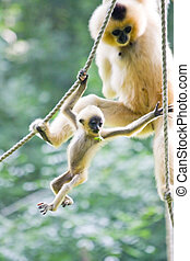 Yellow-cheeked gibbon baby