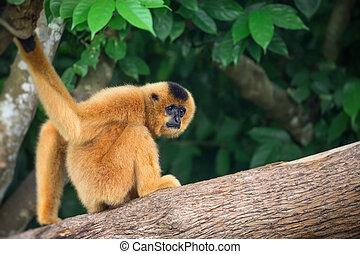 Yellow-cheeked gibbon female, Nomascus gabriellae