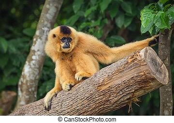 Yellow-cheeked gibbon female, Nomascus gabriellae -...