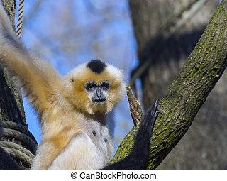 Yellow-cheeked gibbon - Female yellow-cheeked gibbon...