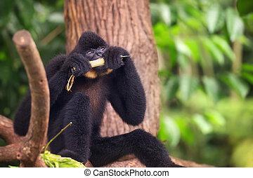 Yellow-cheeked gibbon male, Nomascus gabriellae