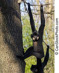 Yellow-cheeked gibbon - Male yellow-cheeked gibbon (Nomascus...