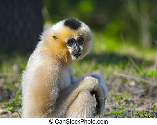 Yellow-cheeked gibbon