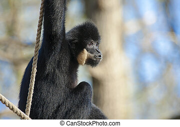 Yellow-cheeked gibbon (Nomascus gabriellae) male