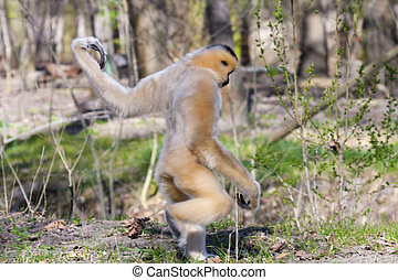 Yellow-cheeked gibbon (Nomascus gabriellae) female is...