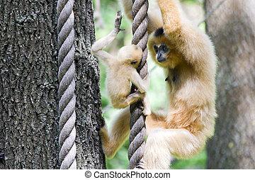 Yellow-cheeked gibbons