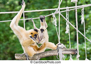 Yellow-cheeked gibbons
