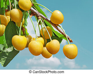 Yellow cherries on a branch