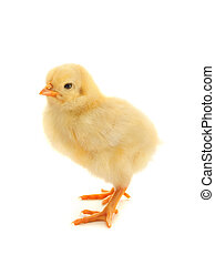 Yellow chicken on a white background