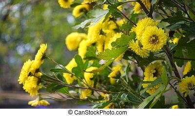 yellow chrysanthemum bush on a wind