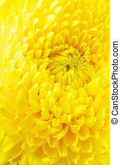 Yellow chrysanthemum close-up