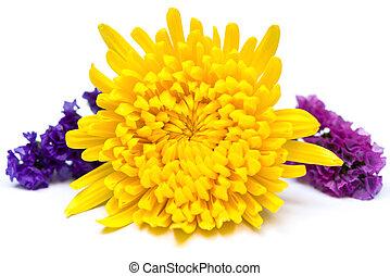 yellow chrysanthemum flower on a white background