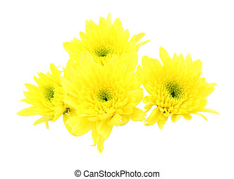 Yellow chrysanthemum flower on white background.