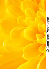 Yellow Chrysanthemum Flower Petals