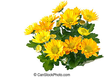 Chrysanthemum isolated on white.