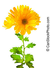 yellow chrysanthemum flowers with leaves, isolated on white background