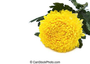 Yellow chrysanthemum isolated on white