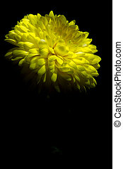 yellow chrysanthemum on a black background