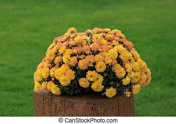 Yellow chrysanthemum outdoor