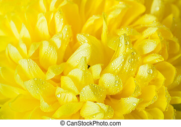 Yellow chrysanthemum petals in water droplets close-up.