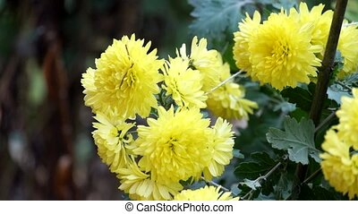 Yellow chrysanthemum shakes a gentle breeze