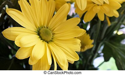 yellow chrysanthemum with leaves