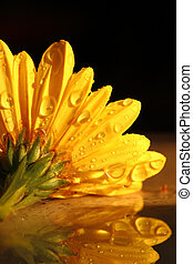 Yellow chrysanthemum with raindrops macro shot