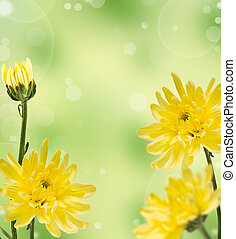 yellow chrysanthemums on a blur background