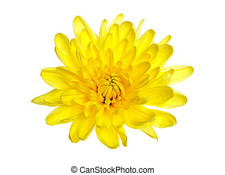 Yellow chrysanthemums on a white background