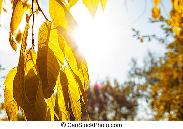 Yellow closeup autumn leaves on tree with sunlight