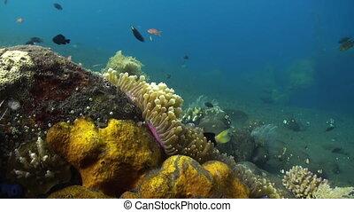Yellow Clownfish In White Anemone In Blue Sea. - Yellow...