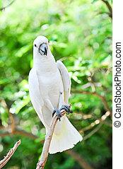 Yellow Cockatoo (Cacatua sulphurea)
