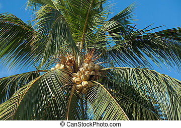 yellow coconut at tree under blue sky