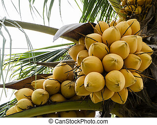 Yellow coconut on the tree