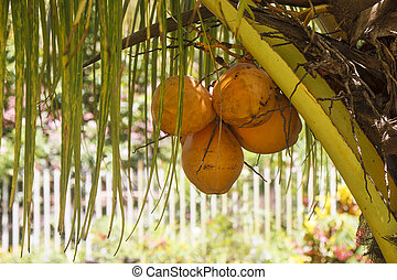 Yellow Coconuts in a Tropical Palm Tree