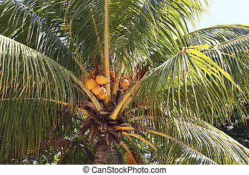 Yellow Coconuts in Palm Tree
