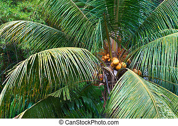 Yellow coconuts on the palm tree