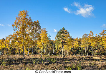 Yellow colored deciduous birch trees - Yellow colored...