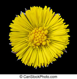 yellow coltsfoot flower head in black back